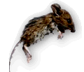 content_pest_control_mice_rats_rodents.png